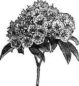Kalmia latifolia or Mountain-laurel vintage engraving