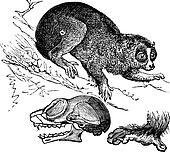 Bengal slow loris or Nycticebus bengalensis vintage engraving