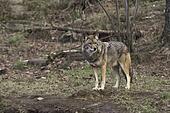 A single coyote