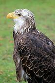 Side of Female American Bald Eagle