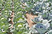 cultivation of kale