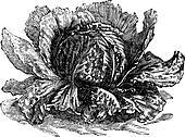 Lettuce (Lactuca sativa) vintage engraving