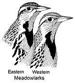 Comparison of two meadowlarks