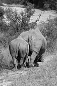 Pair of Rhinos