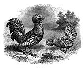 Rooster and Hen Padua silver, vintage engraving.