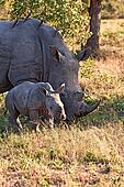 Rhino cow and calf in nature