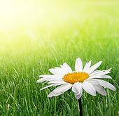 camomile in green grass