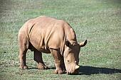 baby rhino on grassland