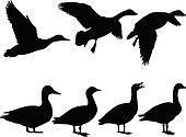 wild duck - vector