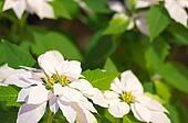 white and green poinsettia