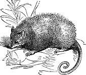 Opossum or Didelphis Virginiana, vintage engraving