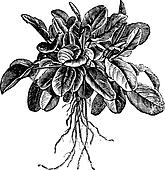 Garden sorrel or Rumex acetosa or Common Sorrel. Variety called Belleville, vintage engraving