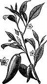 Annual chili (Capsicum annuum) or Mississippi sport pepper, vintage engraving