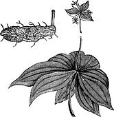 Medeola virginiana or Indian Cucumber-root, vintage engraving