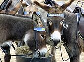 Donkeys at Weston Super Mare