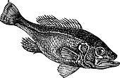 Largemouth bass (Micropterus salmoides) or widemouth bass vintage engraving