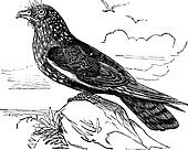 Guacharo Caripe (Steatornis caripensis) or Oilbird vintage engraving