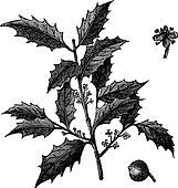 American Holly or Ilex opaca vintage engraving