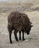 black sheep eating