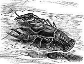 Lobster or Crayfish or Astacus sp., vintage engraving