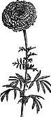 Tagete stands (Tagetes erecta) or Mexican Marigold, vintage engraving.