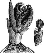 Skunk cabbage (Symplocarpus foetidus) or Eastern Skunk Cabbage, vintage engraving.