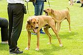 Big brown dogs