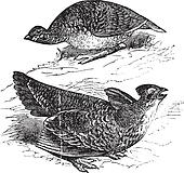 Tetras has fins on prairie chickens (Tetrao cupido), female (top figure) and male, vintage engraving.