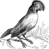 Guianan Cock-of-the-rock or Rupicola rupicola vintage engraving