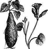 Sweet Potato or Ipomoea batatas, vintage engraving