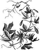 Passion Flower or Passiflora caerulea, vintage engraving
