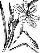 Poet's Daffodil or Narcissus poeticus, vintage engraved illustration