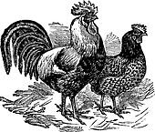Male and female of Dorking (chicken) vintage engraving