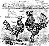 Two Bantam chicken vintage engraving