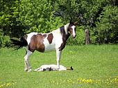 Pinto horse and foal
