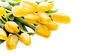 Bouquet of beautiful vivid yellow tulips