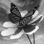 Beautiful Cosmos Flower and butterfly