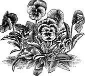 Heartsease or Viola tricolor vintage engraving