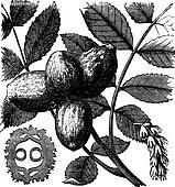 Walnut or Juglans sp., vintage engraved illustration