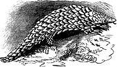 Chinese Pangolin or Manis pentadactyla vintage engraving