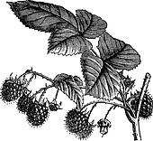 Red Raspberry or Rubus idaeus vintage engraving