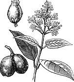 Indian Rubber Tree or Ficus elastica, vintage engraving