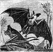 Spectral Bat or Vampyrum spectrum, vintage engraving