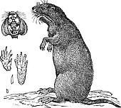 Thomomys bulbivorus or Camas Pocket Gopher, vintage engraving.