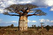 big baoba tree in savanna, Madagascar