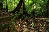 Big Tree in Rainforest