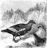 Ptarmigan, vintage engraving.