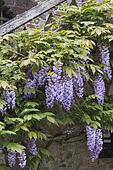 wisteria in spring