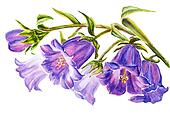 Watercolor painting of the bell flowers