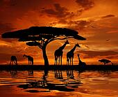 giraffe over sunset